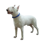 Дрессировка и обучение щенка Бультерьера. Воспитание и коррекция поведения
