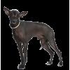 Дрессировка Перуанская голая собака