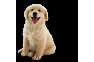 Обучение собак командам
