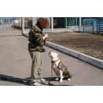 Дрессировка Бульдога обучение командам и воспитание щенка