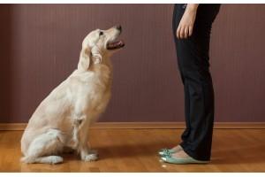 Можно ли научить взрослую собаку командам и как это сделать