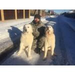 Дрессировка и воспитание щенка Алабая, обучение и коррекция поведения взрослой собаки