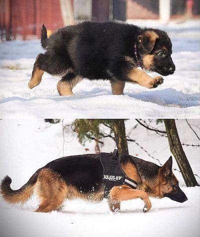 Профессиональная дрессировка щенка немецкой овчарки в Москве и области
