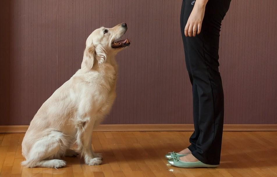Как обучить взрослую собаку командам самостоятельно
