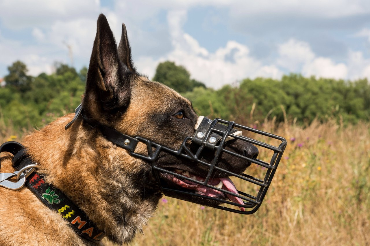 Как самостоятельно приучить собаку к наморднику