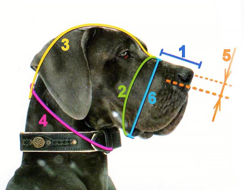 Как измерить морду собаки для намордника